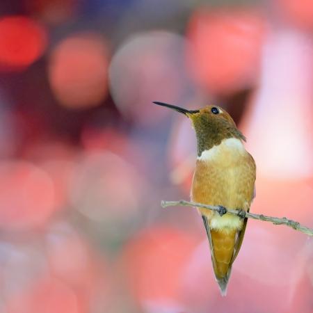 rufous: Rufous Hummingbird perching in red leaves