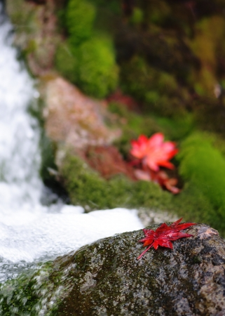 Red maple leaves on the rock in mossy stream  photo