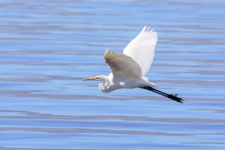 Great Egret in flight over the water Stock Photo