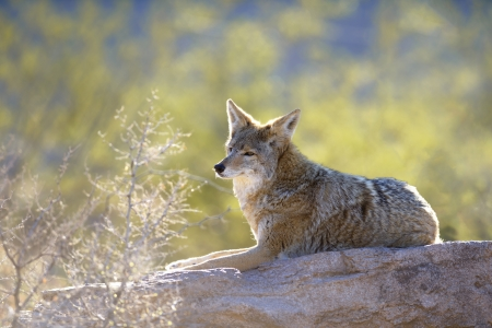 A coyote relaxing on a rock
