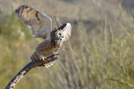 Great Horned Owl taking wings  photo