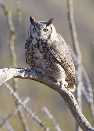 Great Horned Owl perching on a branch photo