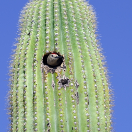 A Gila Woodpecker sticking its head out of the nest in a saguaro cactus. Stock Photo