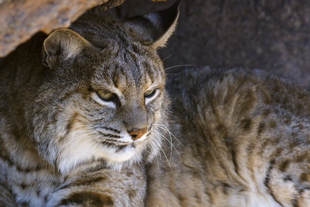 Closeup of a bobcat  lynx