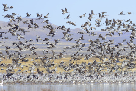 A large flock of sandhill cranes storming up  photo