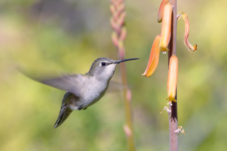 A female  hummingbird hovering near orange flowers