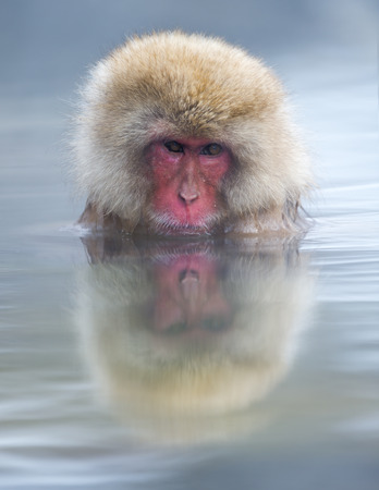 Snow monkey  Japanese macaque  relaxing in a hot spring pool