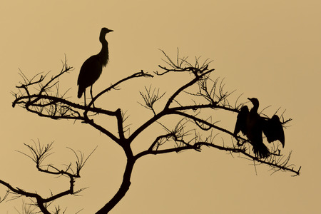 silouette of blue heron and Cormorant  photo
