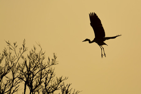 Silhouette of blue heron taking off  photo