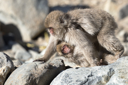 clinging: Japanese macaque walking with her baby clinging onto her underside Stock Photo