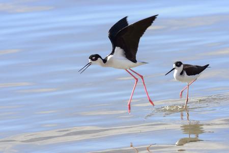 necked: Black necked stilt in a marsh Stockfoto