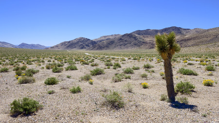 Joshua tree and desert wild flower in Death Valley National Park  photo