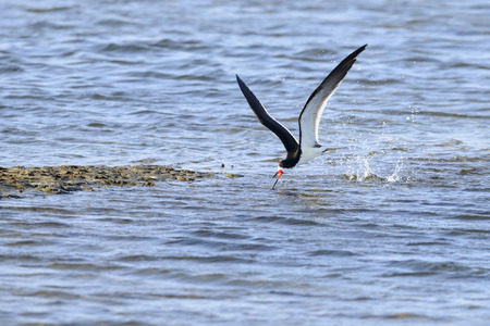 Black Skimmer skimming the water surface for food  Stock Photo
