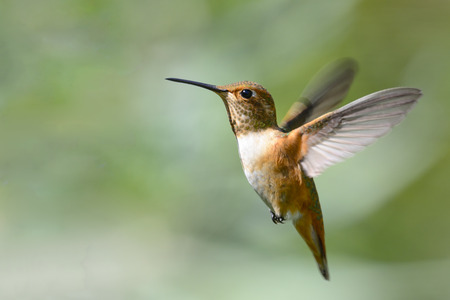 Rufous Hummingbird in Flight photo