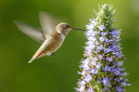 Hummingbird feeding on Pride of Madeira Flowers