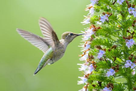 ハチドリの餌付けマデイラ花プライド