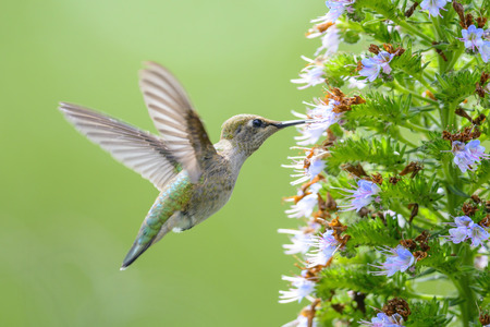 Hummingbird feeding on Pride of Madeira Flowers