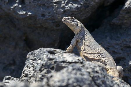 lizard in field: Chuckwalla pie sobre la roca, Amboy, California Foto de archivo