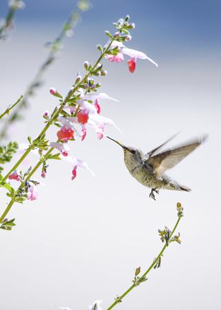 Hummingbird in flight at a pink flower