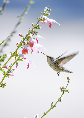 Hummingbird in flight at a pink flower