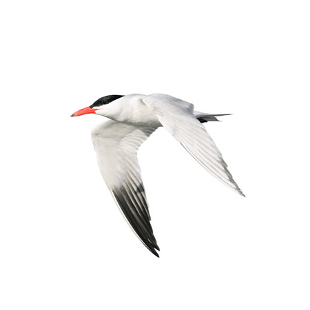 Tern isolated on white background Stock Photo