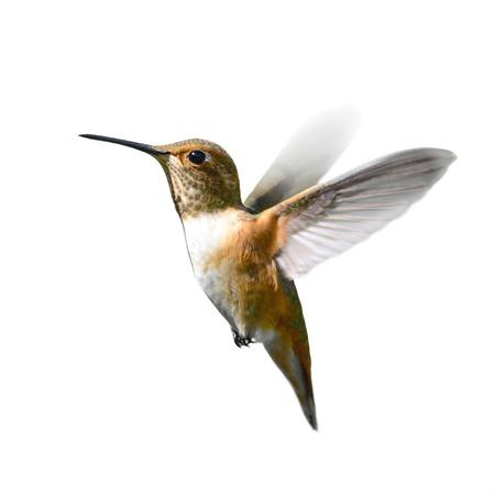 飛行中アカフトオハチドリ 写真素材