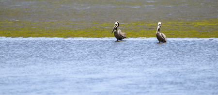 chica: 2 Brown pelicans  in Bolsa Chica Wet Land, California