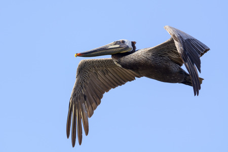 chica:  A brown pelican gliding in Bolsa Chica Wet Land, California