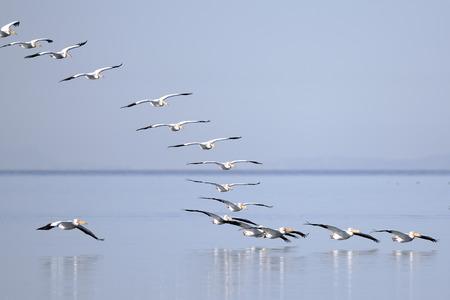 White pelicans taking flight over Salton Sea, California