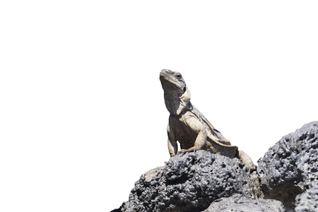 lizard in field: Chuckwalla de pie sobre la roca de lava, Amboy, California