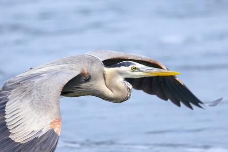 great blue heron: Closeup of A great blue heron in flight
