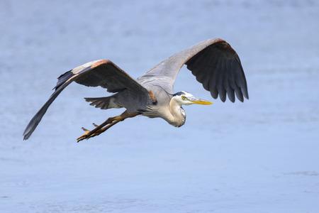 great blue heron: A great blue heron in flight