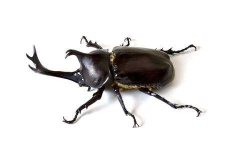 De Trypoxylus dichotomus is een veel voorkomende Japanse kever Stockfoto