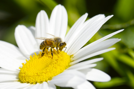 Honey Bee gathering pollen from a white flower.