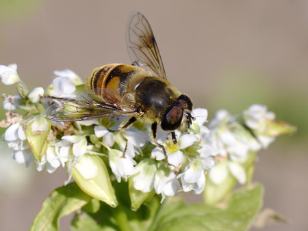 syrphid fly: A syrphid fly sitting on buckwheat flowers. Stock Photo