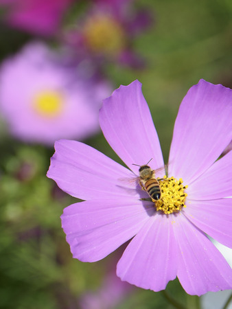 Honey bee feeds on pink cosmos flower photo