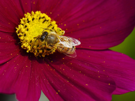 Honey bee flying on red cosmos flower. photo