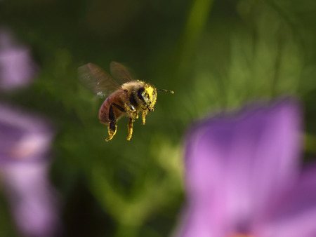 Pollen covered honey bee flying. Stock Photo