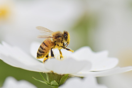 blossom honey: Honey bee collecting pollen from white cosmos flower.