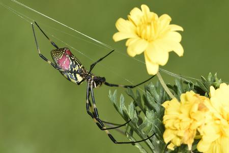 golden silk spider `Nephila clavata`