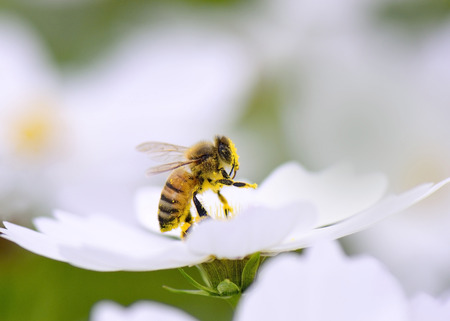 Honey bee collecting pollen from white cosmos flower. Stock Photo - 33191881