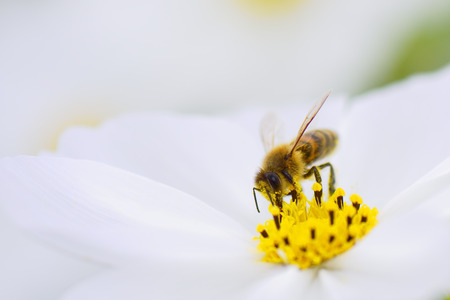 Honey bee collecting pollen from white cosmos flower.