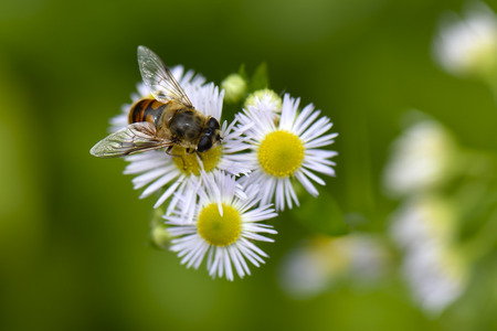 syrphid fly: A syrphid fly sitting on daisy fleabane flowers.