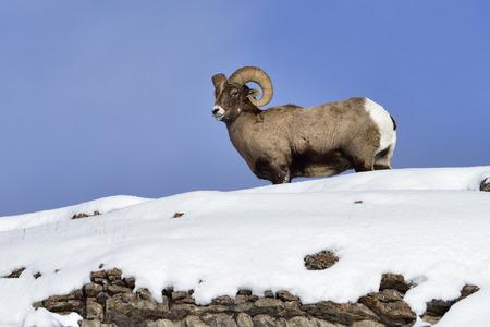 rocky mountain bighorn sheep: Winter Snow Big Horn Sheep in Yellowstone National Park.