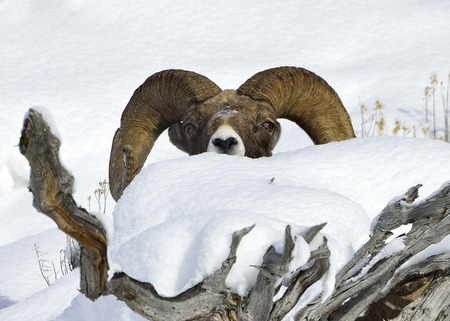 mountain peek: Winter Snow Big Horn Sheep hiding in debris. Yellowstone National Park. Stock Photo