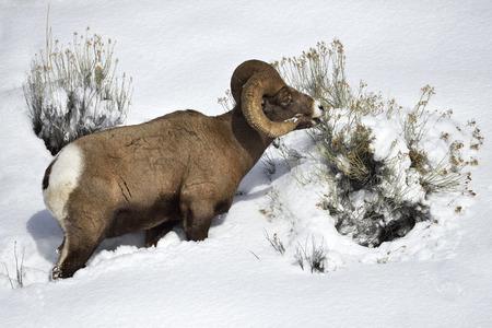 Bighorn sheep grazing on snowy hillside in Yellowstone National Park.