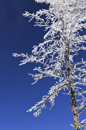 urban scenics: Frosted tree in Mammoth Hot Springs, Yellowstone National Park.