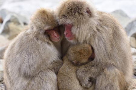 Japanese macaque parent and child sleeping hugging each other. 写真素材