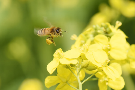 Honey Bee collecting pollen on yellow rape flower. Banque d'images