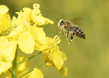 Honey Bee collecting pollen on yellow rape flower. Stock Photo